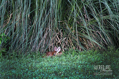 fawn sleeping in grass